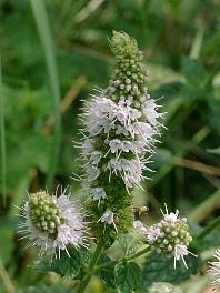 althaea officinalis eibisch pflanze